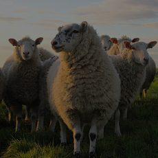 Haji-Baba-Halal-Meat-Online-Qurabani-Sheep